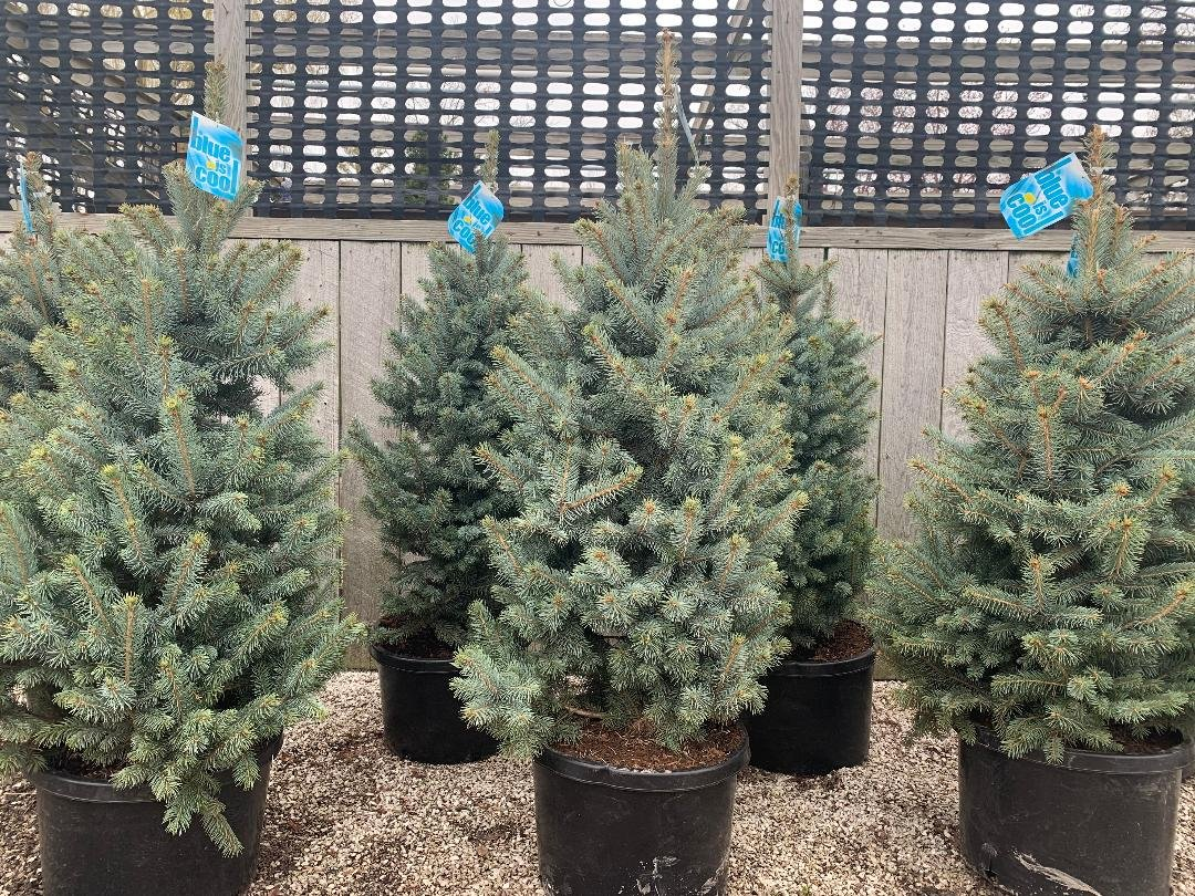 PICEA PUNGENS GLAUCA 'BABY BLUE' #10