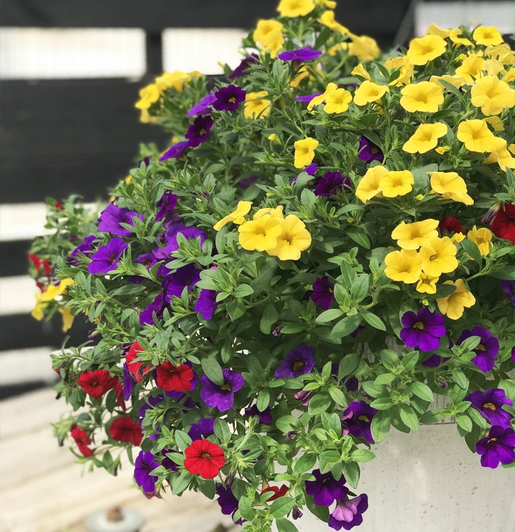CALIBRACHOA HANGING BASKET 10