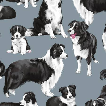 Blue Border Collie Dogs