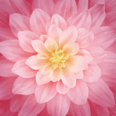 Dream Big - Rose -  Large Flower 43in x 43in Digitally Printed - Hoffman Fabric  P4389H-94