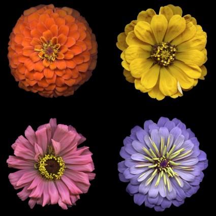 Flower Power Digital 4 Blooms Panel Y3050-55