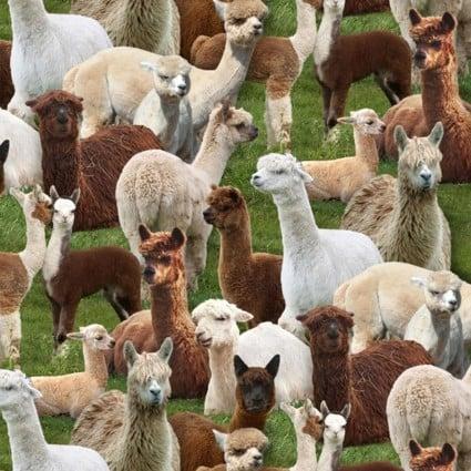 Farm Animals - Llamas