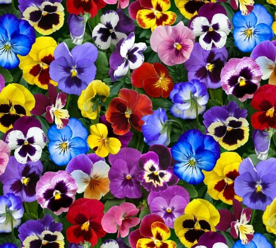 Lovely Pansies 475 Packed Pansies - Multi