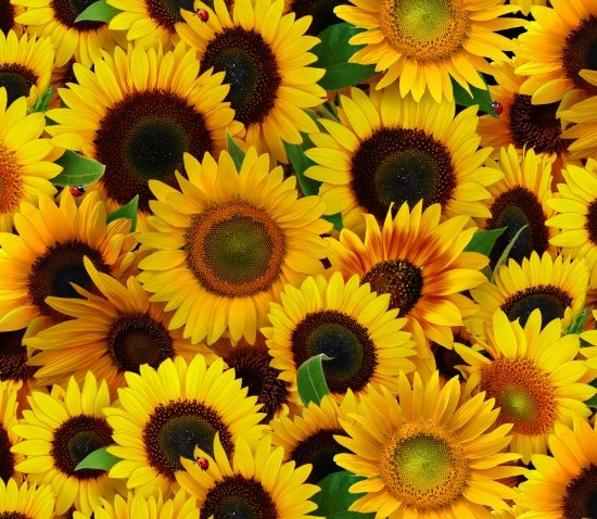 ES 487 Packed Sunflowers - Yellow