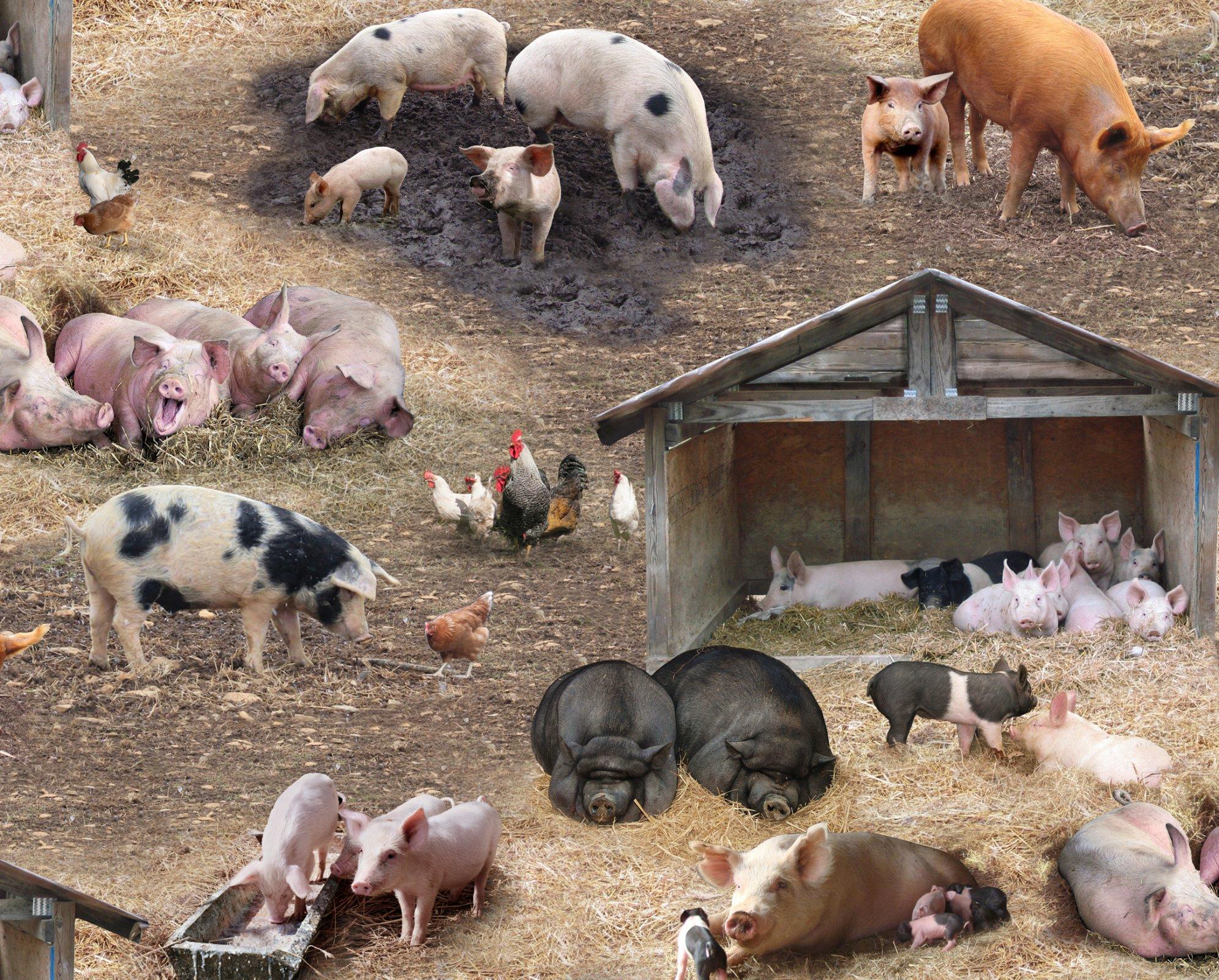 Farm Animals Scenic Brown Pigs