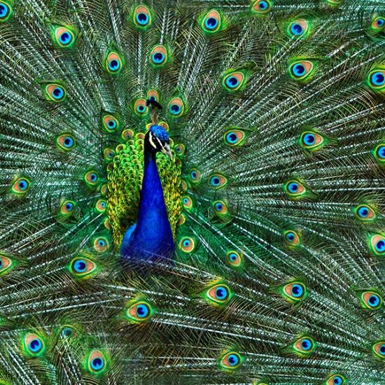 Q4512-136-Peacock Proud as a Peacock