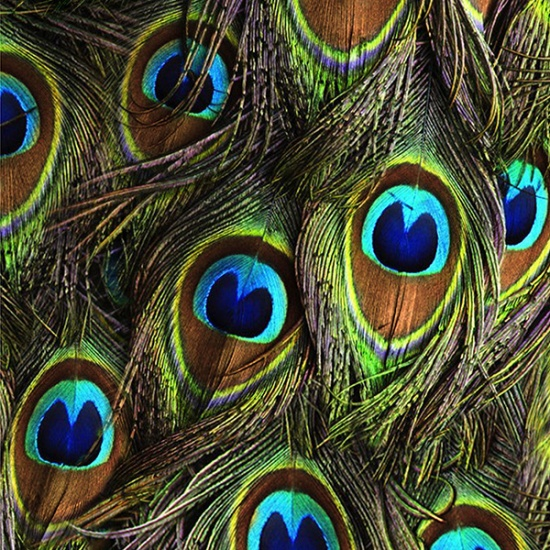 Peacock Feathers Proud as a Peacock