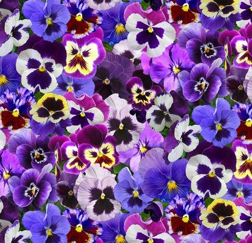 LovelyPansies Purple