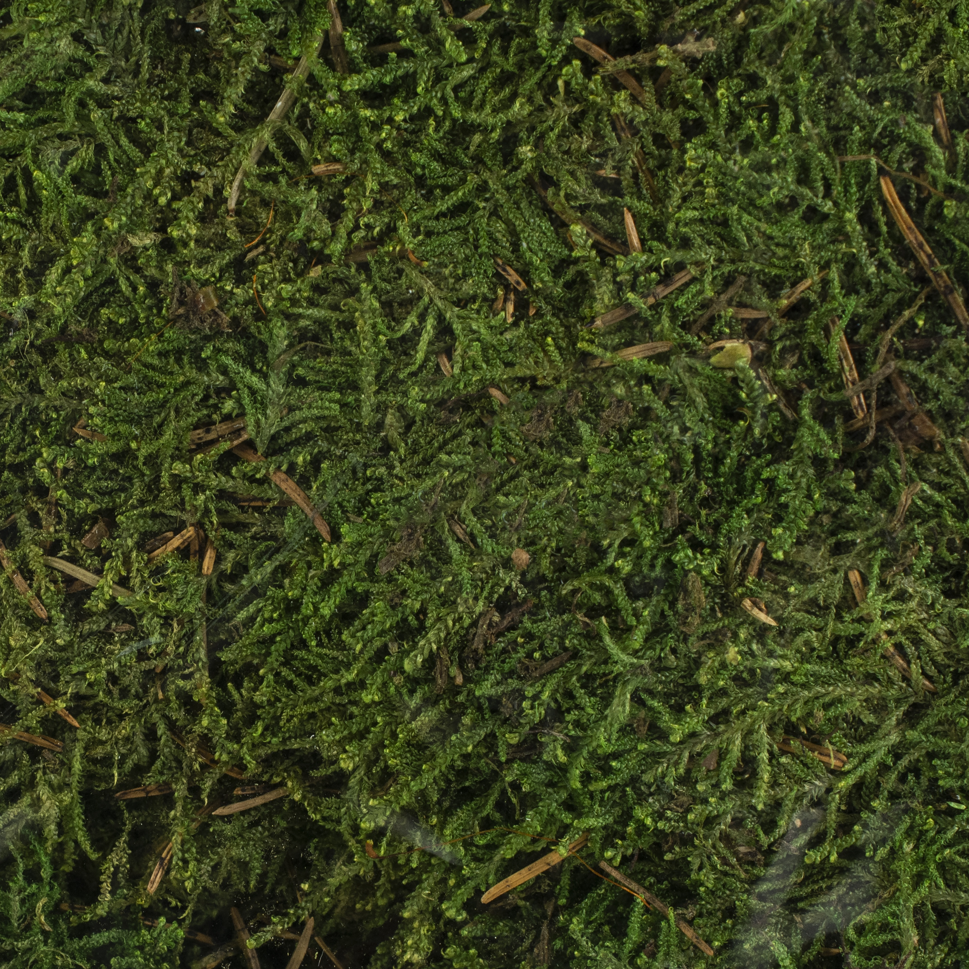 Quality Growers Preserved Sheet Moss 112.5 Cubic Inches-