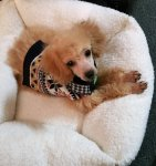 Sandy the Toy Poodle