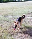 Bailey the German Shepherd